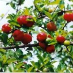 Acerola e seus Benefícios