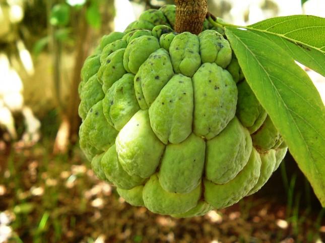 Ata_Sugar-apple_Pinha_Fruta_do_conde